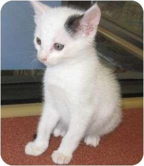 American Shorthair Kitten for adoption in Los Alamitos, California - Buddy