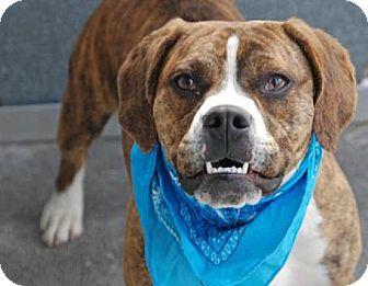 Niko | Adopted Puppy | New York, NY | English Bulldog/Beagle Mix