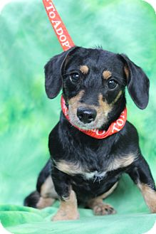 Dachshund/Miniature Pinscher Mix Puppy for adoption in Wytheville, Virginia - Rosie