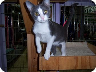 Domestic Shorthair Kitten for adoption in Whittier, California - Mable