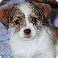 Adopt A Pet :: Peanut - RENO, NV