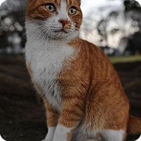 Domestic Shorthair Cat for adoption in Loganville, Georgia - Chester