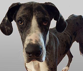 Great Dane Dog for adoption in Broomfield, Colorado - Huck