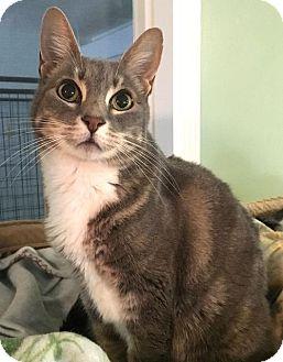 Domestic Shorthair Cat for adoption in Menifee, California - Sierra