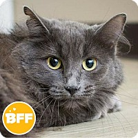 Domestic Mediumhair Cat for adoption in Edmonton, Alberta - Hopper
