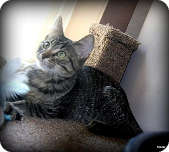Domestic Shorthair Kitten for adoption in O Fallon, Illinois - Lynx
