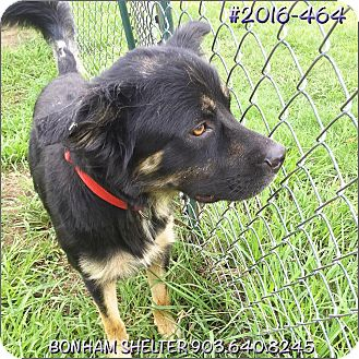 Australian Shepherd Mix Dog for adoption in Bonham, Texas - Buster
