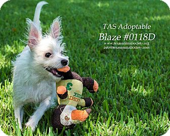 Chihuahua/Yorkie, Yorkshire Terrier Mix Dog for adoption in Spring, Texas - Blaze