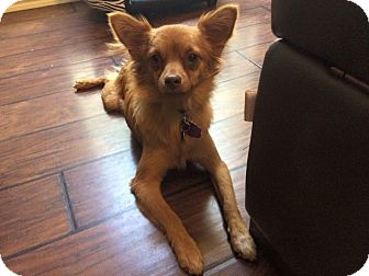 Pomeranian Mix Puppy for adoption in Edmond, Oklahoma - Snickerdoodle AKA Charlie