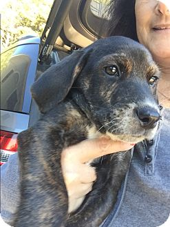 Mountain Cur/Bluetick Coonhound Mix Puppy for adoption in Acworth, Georgia - Kristov - Frozen Litter