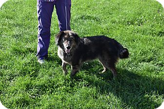 Australian Shepherd/Catahoula Leopard Dog Mix Dog for adoption in North Judson, Indiana - Teddy