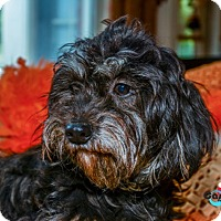 Lhasa Apso/Terrier (Unknown Type, Small) Mix Dog for adoption in Matthews, North Carolina - Holly
