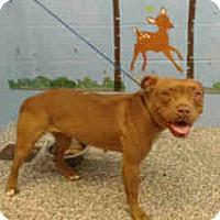 Pit Bull Terrier Dog for adoption in San Bernardino, California - URGENT ON 11/30 San Bernardino