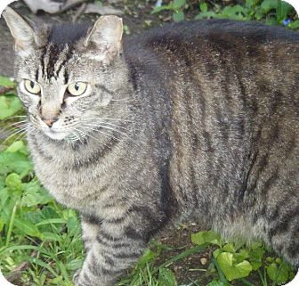 Domestic Shorthair Cat for adoption in Kensington, Maryland - Coco