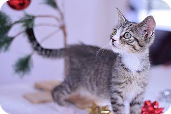 Domestic Shorthair Kitten for adoption in Virginia Beach, Virginia - Alexander