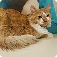 Domestic Longhair Cat for adoption in Chandler, Arizona - Penny II