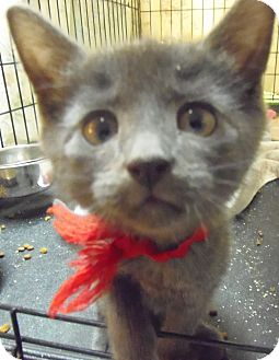 Domestic Shorthair Kitten for adoption in Catasauqua, Pennsylvania - Baxter