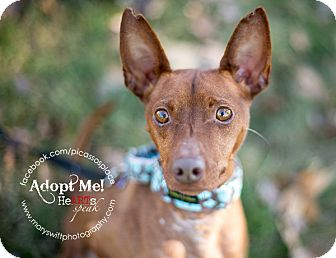 German Pinscher/Miniature Pinscher Mix Dog for adoption in Myersville, Maryland - Galen