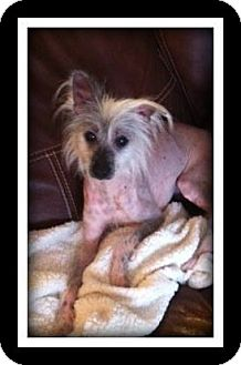 Chinese Crested Dog for adoption in Indian Trail, North Carolina - Buck