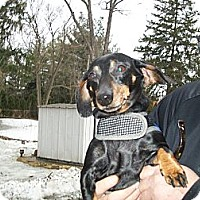Adopt A Pet :: Carli - West Bloomfield, MI