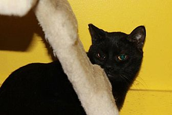 Domestic Shorthair Cat for adoption in Westbury, New York - Pitch