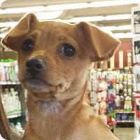 Adopt A Pet :: Luna - Encino, CA