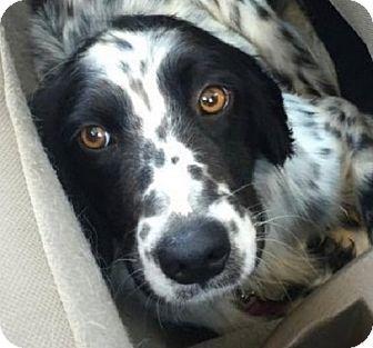 English Setter Dog for adoption in Pine Grove, Pennsylvania - HUNTER, FL