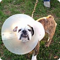 Adopt A Pet :: Baylah - Columbus, OH