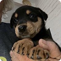 Adopt A Pet :: Claire - Tucson, AZ
