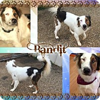 Adopt A Pet :: Bandit - Longview, TX