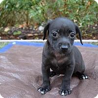 Adopt A Pet :: Lukey - Sacramento, CA
