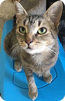 Domestic Shorthair Cat for adoption in Toledo, Ohio - Geraniam