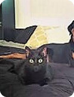 Domestic Shorthair Cat for adoption in Chandler, Arizona - Cassiel