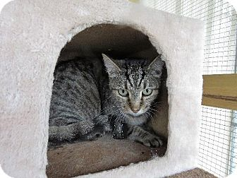 American Shorthair Cat for adoption in Van Wert, Ohio - Tilly