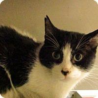 Domestic Shorthair Cat for adoption in Hamilton, Ontario - Jacques