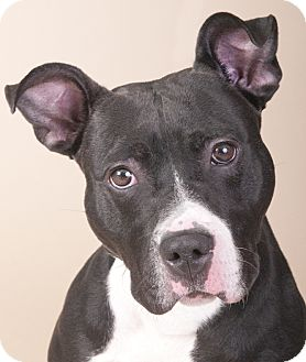 American Staffordshire Terrier/American Pit Bull Terrier Mix Dog for adoption in Chicago, Illinois - King