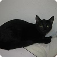 Domestic Shorthair Kitten for adoption in Westminster, California - Genevieve