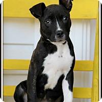 Pit Bull Terrier Mix Puppy for adoption in Dixon, Kentucky - Carmen