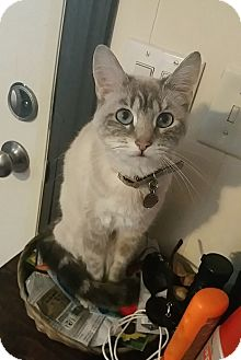 Domestic Shorthair Cat for adoption in Carlisle, Pennsylvania - SabellaCP