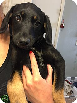 German Shepherd Dog/Shepherd (Unknown Type) Mix Puppy for adoption in Fort Collins, Colorado - Razzle (FORT COLLINS)