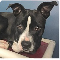 Adopt A Pet :: Brooklyn - Springdale, AR