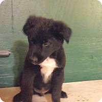 Chesapeake Bay Retriever/Border Collie Mix Puppy for adoption in Centralia, Illinois - Simon