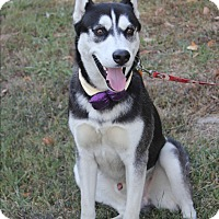Husky Dog for adoption in Dalton, Georgia - Joey