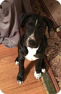 American Bulldog/Labrador Retriever Mix Dog for adoption in Tuskegee, Alabama - Star