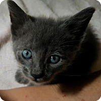 Domestic Shorthair Kitten for adoption in Austin, Texas - Pewter Le Mew