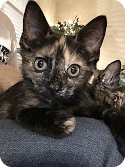 Domestic Shorthair Kitten for adoption in Virginia Beach, Virginia - Snickers