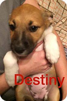 Boxer/Shepherd (Unknown Type) Mix Puppy for adoption in Normal, Illinois - Destiny
