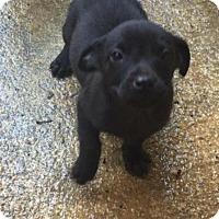 Adopt A Pet :: Olivia - Charlotte, NC