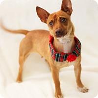 Adopt A Pet :: Angel - Dalton, GA