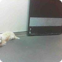 Adopt A Pet :: Tito - Las Vegas, NV